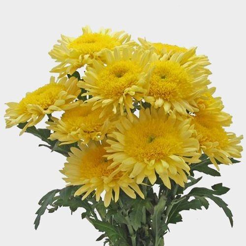 Cremon Mum Yellow Flowers