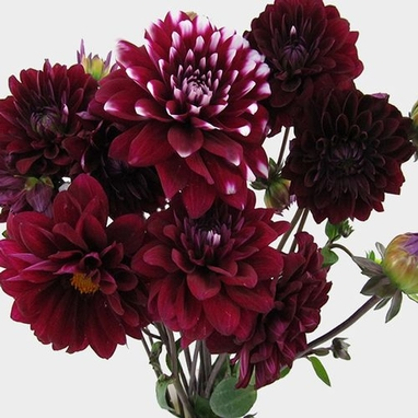 Dahlias 5 Bunch 50 Stems Burgundys Wholesale Blooms By The Box