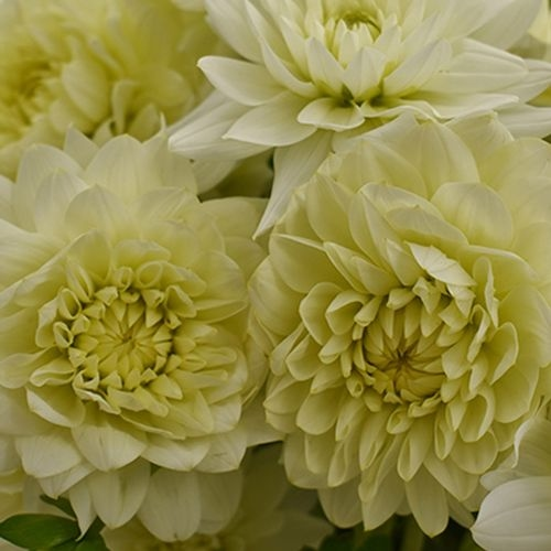 Dahlias 5 Bunch (50 Stems) - Whites