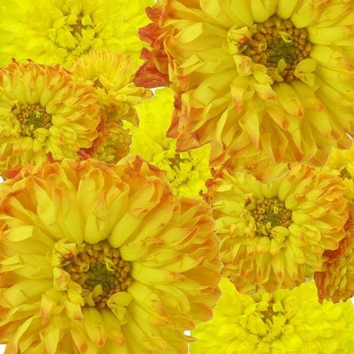 Dahlias 5 Bunch (50 Stems) - Yellows