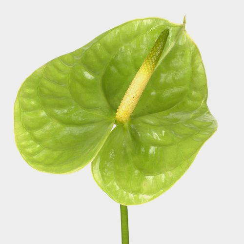 Anthurium Green