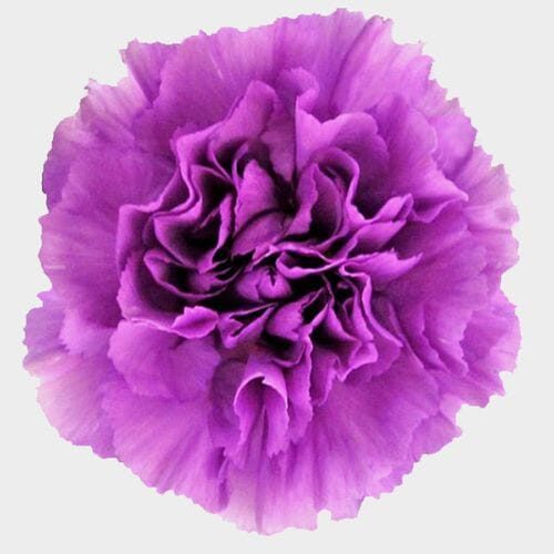 Moonlight Deep Lavender Carnation Flowers - Fancy