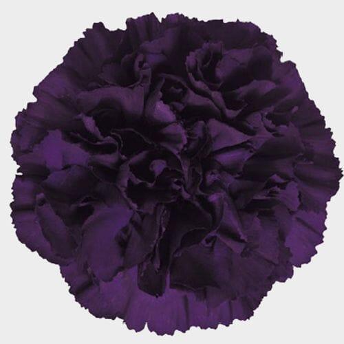 Moonvista Dark Purple Fancy Carnation Flowers