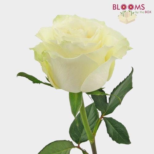 Rose Mondial White 60 Cm