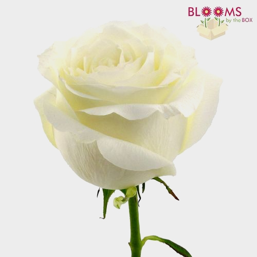 Rose Proud White 40 Cm