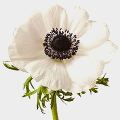 Anemone White W/ Black Eye Flower (50 Stems)