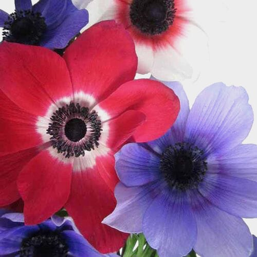 Anemone White W/ Green Eye Flower (50 Stems)