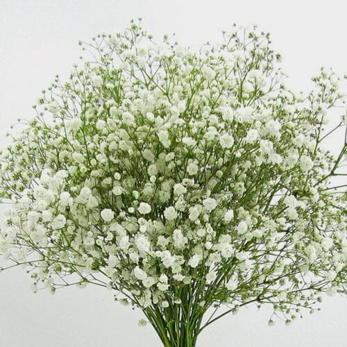 Gypsophila Excellence Flowers