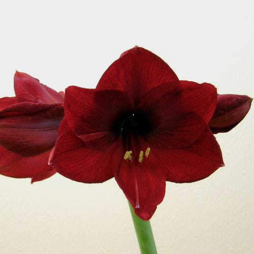 Amaryllis Red 4 Head Flowers