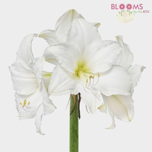 Amaryllis White 4 Head Flower