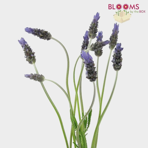 French Lavender (10 Bunches)