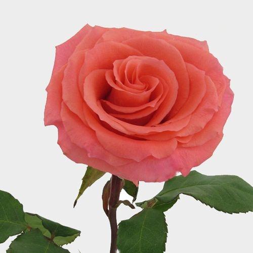 Rose Amsterdam Coral 40 Cm