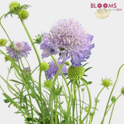 Lavender Scabiosa  Flowers (10 Bunches)