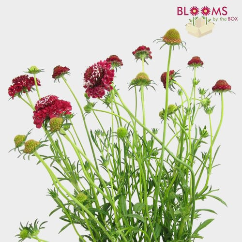 Red Scabiosa Flowers (10 Bunches)