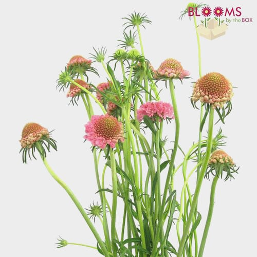 Pink Scabiosa Flowers (10 Bunches)