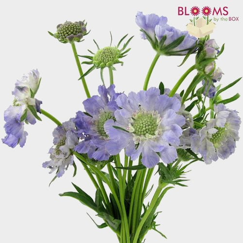 Blue Scabiosa Flowers (10 Bunches)