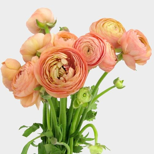 Peach Ranunculus Flower