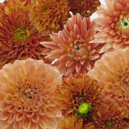 Dahlias 5 Bunch (50 Stems) - Oranges