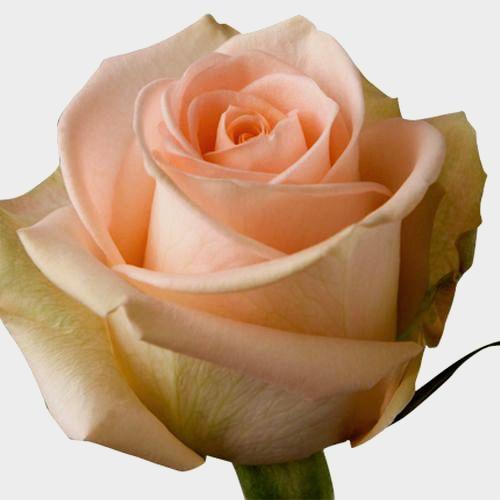 Rose Tiffany  50 Cm.
