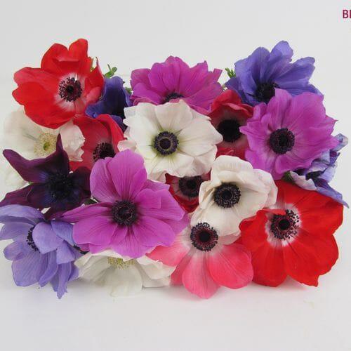 Assorted Winter Anemones 5 Bunch X 10 Stem Box (50 Stems)