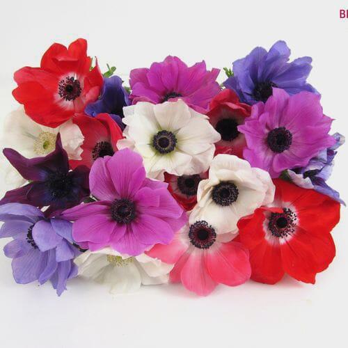Assorted Winter Anemones 10 Bunch X 10 Stem Box (100 Stems)