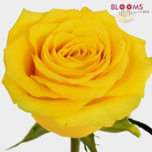 Rose Brighton Yellow 50cm