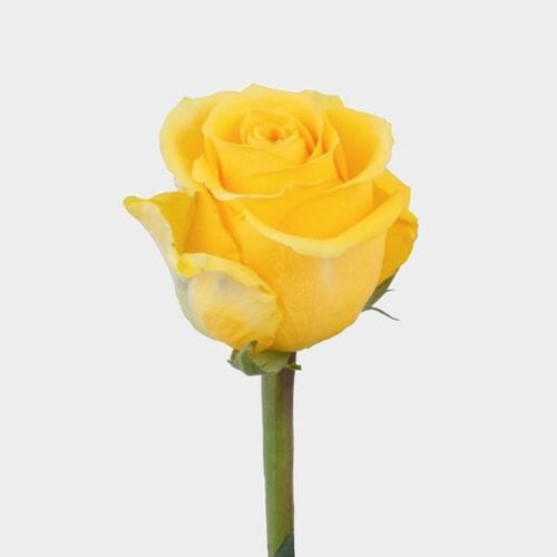 Rose Brighton Yellow 50cm