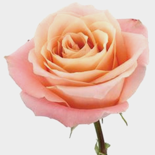 Rose Fado Peach 60 Cm