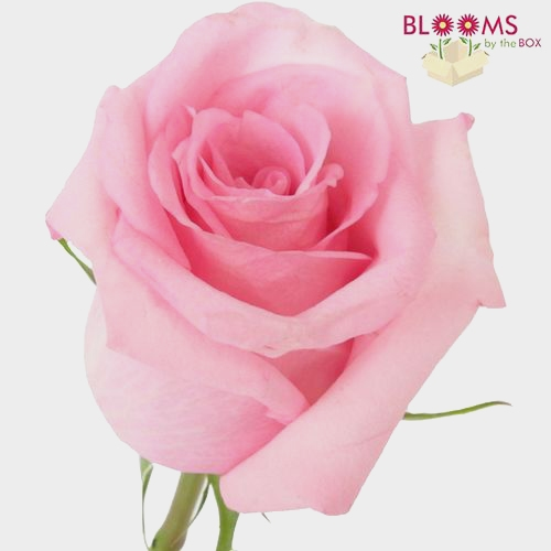 Rose Jessica Pink 50cm
