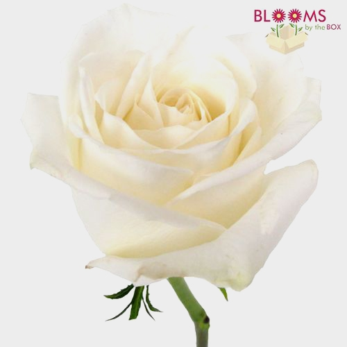 Rose Playa Blanca White  60 Cm