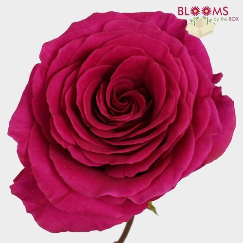 Rose Pink Floyd 60cm
