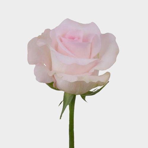 Rose Sweet Akito  50 Cm.