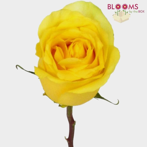Rose Stardust Yellow 60cm