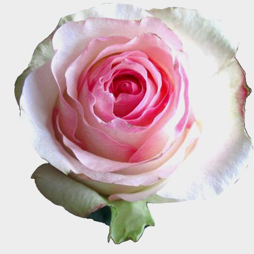 Rose Senorita Pink 60cm