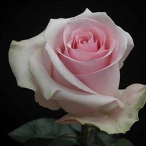 Rose Novia Pink 50cm