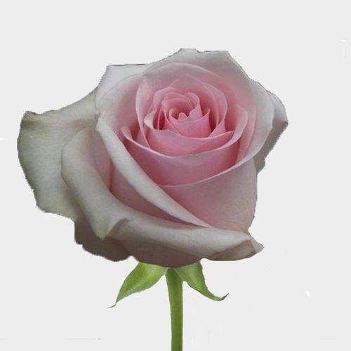 Rose Novia Pink 50cm Bulk