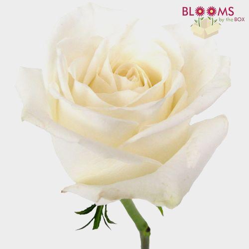 Rose Playa Blanca 50 Cm.
