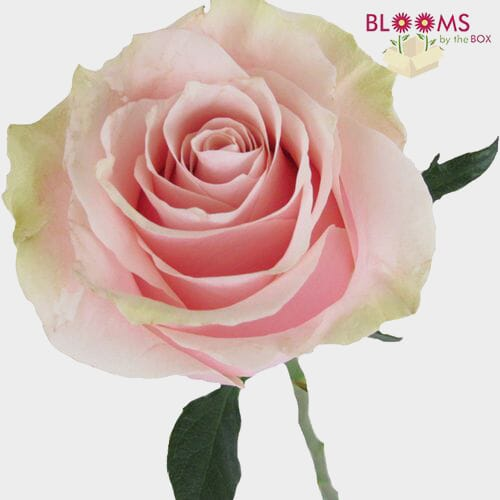 Rose Mondial Pink 50cm Bulk