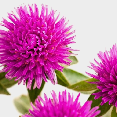 Gomphrena Purple