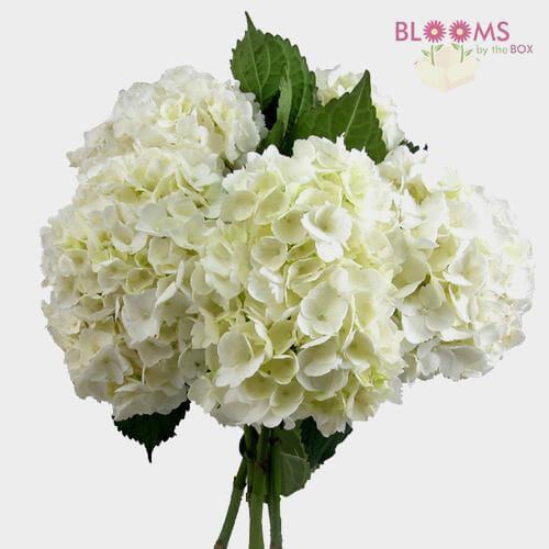 Large Hydrangea White Premium