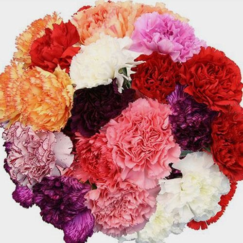 Carnations Assorted Colors Fancy Bulk