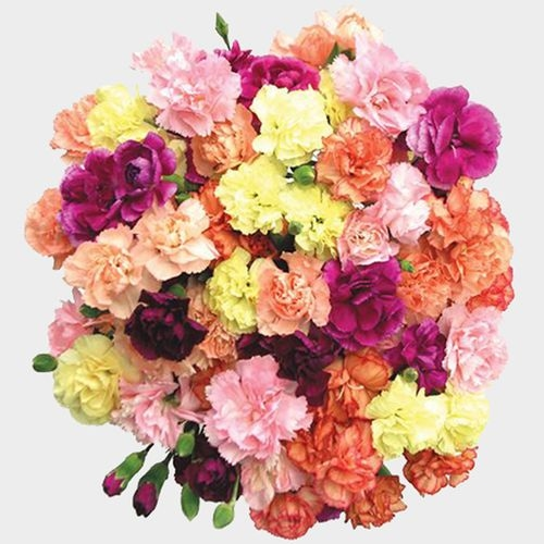 Carnations Assorted Novelty Colors Fancy Bulk