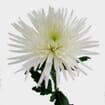 Spider Anastasia Flowers Assorted Bulk
