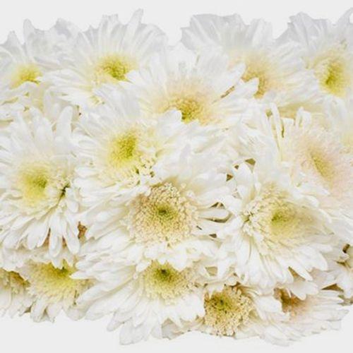 White Maisy Flower Bulk Pack