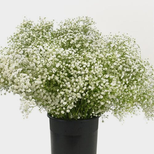 Gypsophila Beauty Bride Flowers Bulk Pack