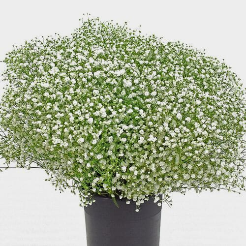 Gypsophila Cosmic Flowers Bulk Pack