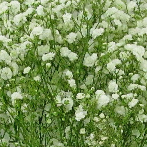 Gypsophila Excellence Bulk Pack