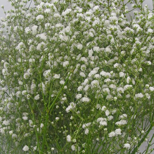 Gypsophila Bouquet Grade Bulk Pack