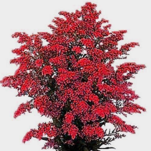 Solidago Red