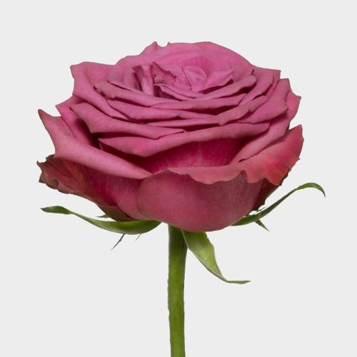 Rose Blueberry 50cm